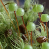 Bartramia pomiformis  Apple moss